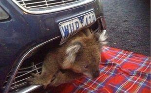 Un Koala incrusté dans le pare-choc d'une voiture