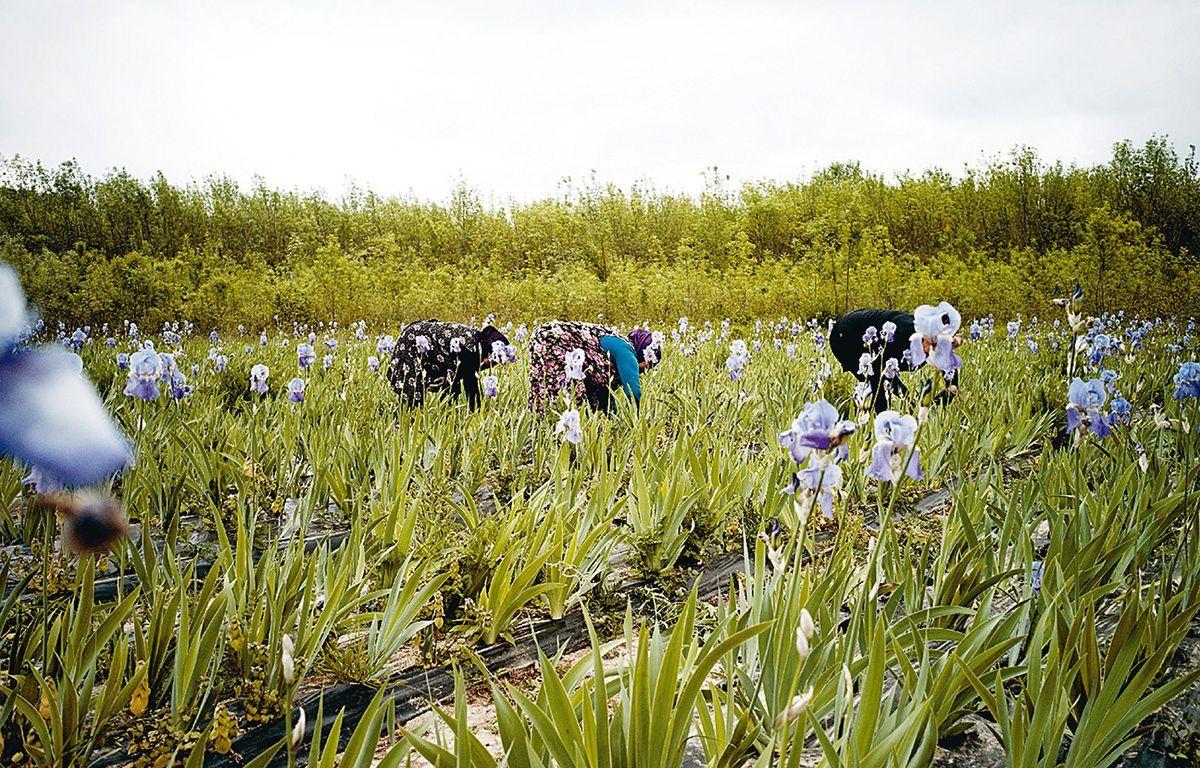 Les champs d'iris de Chanel à Pégomas, près de Cannes, dans les Alpes-Maritimes – Pierre Even / Chanel