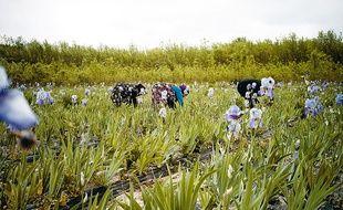 Les champs d'iris de Chanel à Pégomas, près de Cannes, dans les Alpes-Maritimes