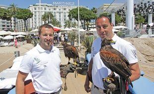 Les deux fauconniers et leurs buses de Harris se relaient sur la plage, autour de restaurant et sur les terrasses du Martinez.