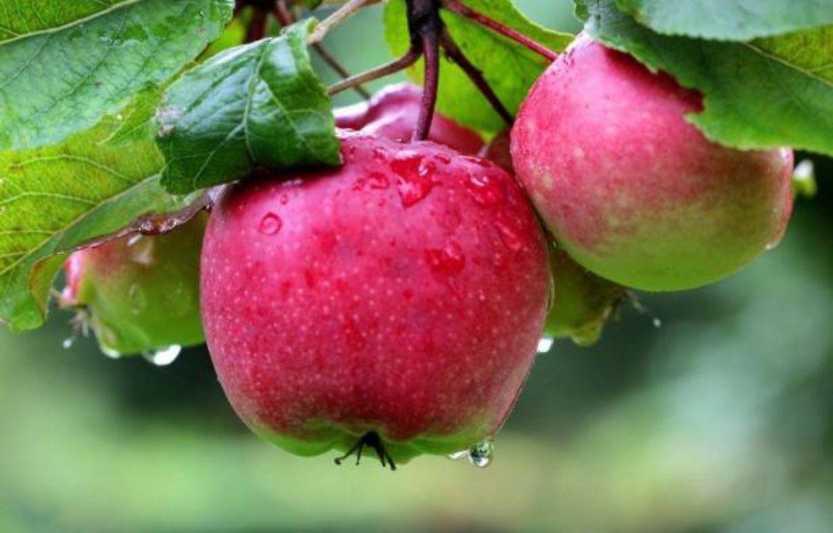 On a retrouvé la pomme d'Eve dans les montagnes kazakhes: résistante à toutes les maladies, elle permettrait d'épargner aux pommes de nos supermarchés les 35 pesticides qui les rendent présentables. – Roland Weihrauch afp.com