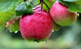 On a retrouvé la pomme d'Eve dans les montagnes kazakhes: résistante à toutes les maladies, elle permettrait d'épargner aux pommes de nos supermarchés les 35 pesticides qui les rendent présentables.
