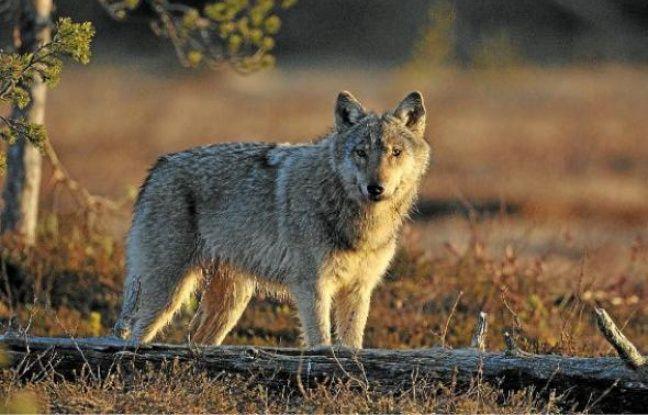 Le loup, réintroduit en France en 1992