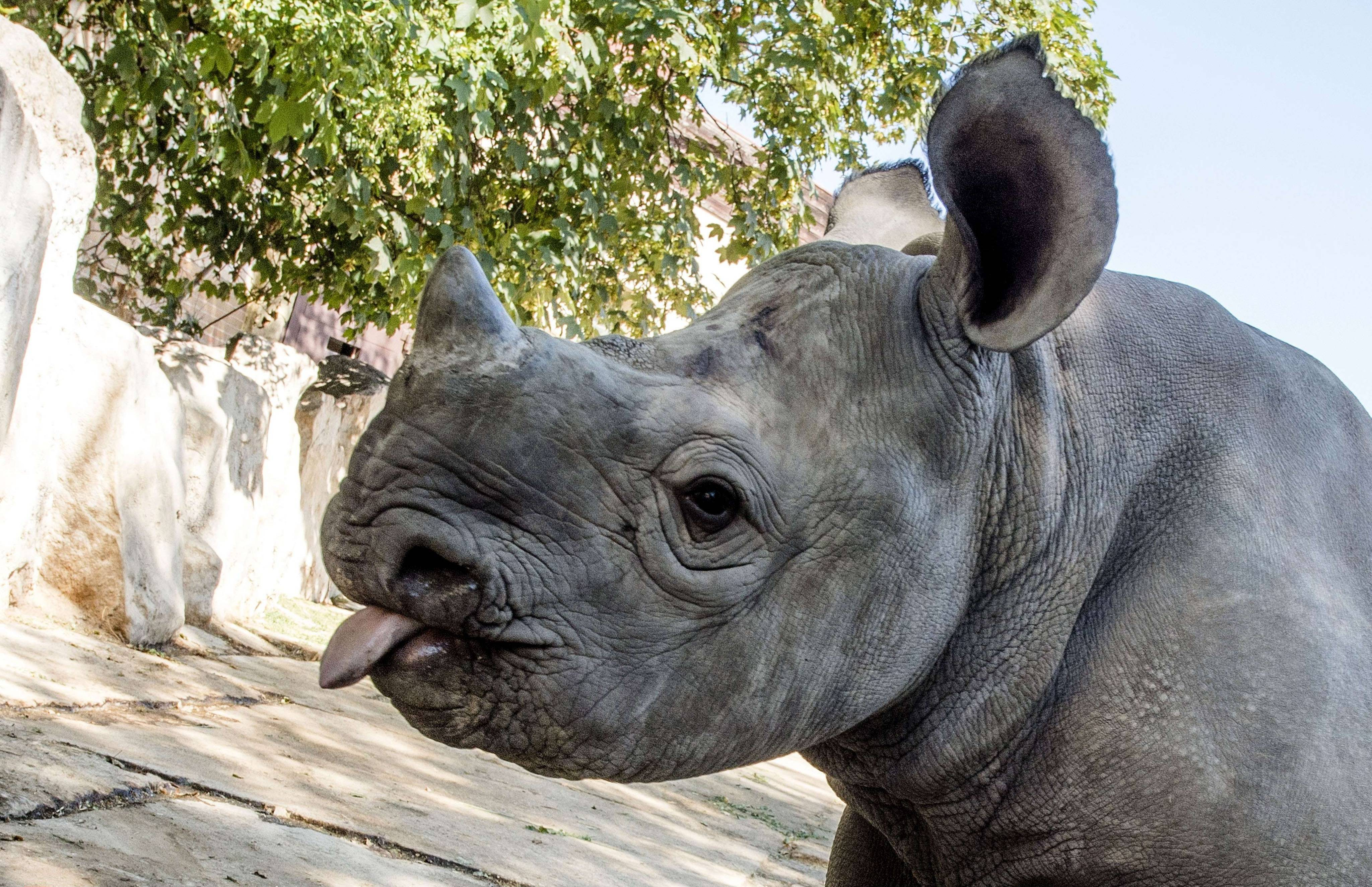 Rhinocéros, illustration.