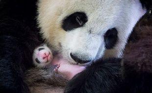 Huan Huan câline son bébé, Mini Yuan Zi, au zoo de Beauval le 28 août 2017.