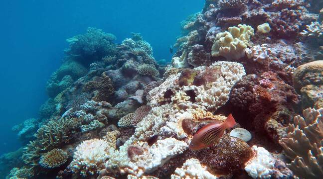 Un écologiste appelle à sauver les coraux du changement climatique