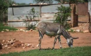 Un âne broute dans le village de Magosane, dans la province du Nord-Ouest en Afrique du Sud, le 9 février 2017. Depuis deux ans, le village est la proie de braconniers en quête de peaux d'ânes qu'ils revendent à prix d'or en Chine.