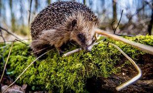 Le hérisson, une belle petite espèce pourtant particulièrement menacée en Alsace. Illustration
