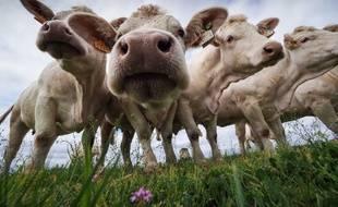 Des vaches charolaises, dans leur champ, à Chiché dans les Deux-Sèvres.