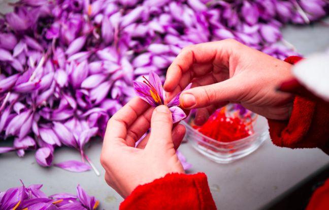 Fleur de safran pendant leur récolte