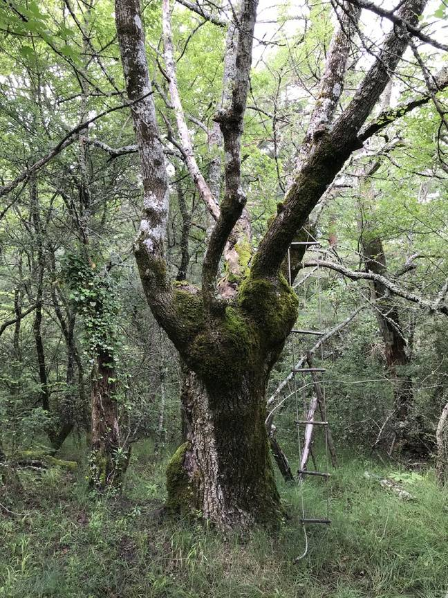 Un arbre sénescent.