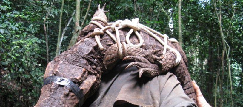Un crocodile orange découvert au Gabon.