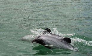 Le Maui est le dauphin le plus rare de la planète. Il ne reste plus que 55 cétacés adultes de cette espèce qui vit uniquement au large de l'île du Nord de la Nouvelle-Zélande. Et les défenseurs de la vie sauvage pressent Wellington d'agir enfin pour éviter qu'il disparaisse à jamais.