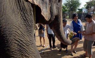Sambo, le seul éléphant encore en activité à Phnom Penh, reçoit des bananes avant son départ pour la jungle, le 25 novembre 2014