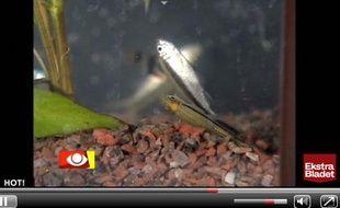 Extrait de la vidéo de l'émission danoise Kontant dans laquelle la journaliste Lisbeth Koelster a fait mourir douze poissons en 2004 pour prouver la toxicité de certains shampooings antipelliculaires.