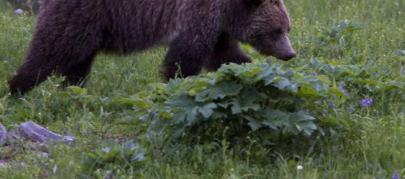 Un grizzli, près du lac Beaver dans le parc national de Yellowstone, aux Etats-Unis, le 6 juillet 2011.