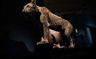 Une lionne de l'exposition «Des lions et des hommes», qui commence à la grotte Chauvet le 6 avril.