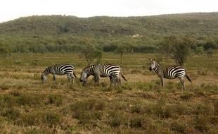 Des zèbres dans le parc national de Hells gate, au Kenya, le 20 novembre 2014.