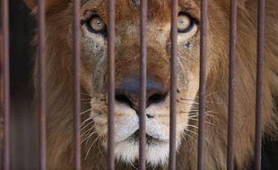 Un lion récupéré dans un cirque s'apprête à s'envoler du Pérou pour l'Afrique du Sud.