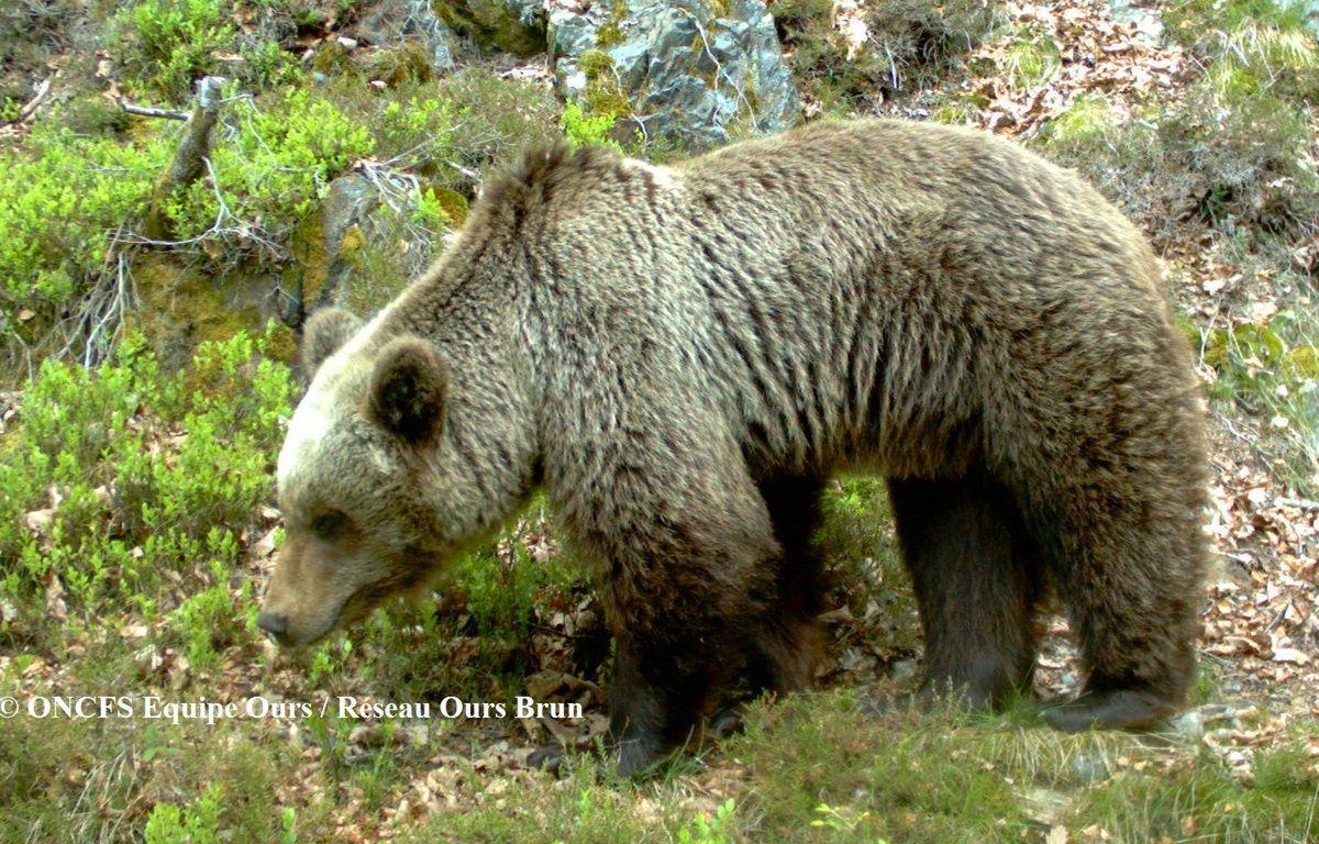 Un ours dans les Pyrénées – ONCFS / Equipe ours / réseau ours brun