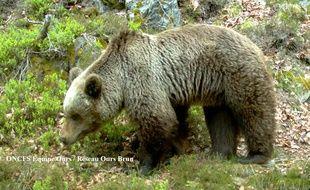 Un ours dans les Pyrénées
