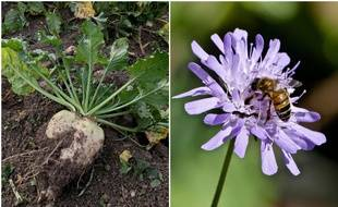 A gauche, une betterave. A droite, une abeille. Quel est le rapport ?