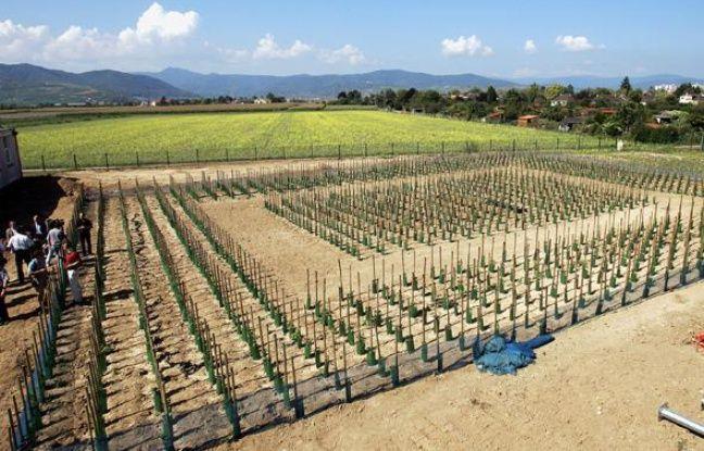 Des plans de vigne génétiquements modifiés sur un terrain de l'Inra près de Colmar, en 2005.