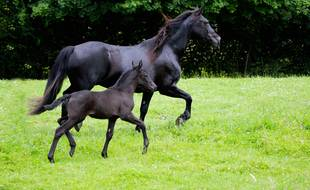 India est la première pouliche ariégeoise de race Mérens née par élevage collaboratif.