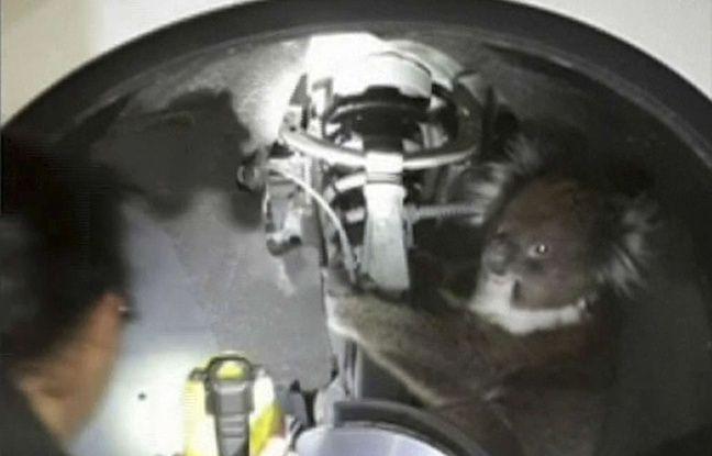 VIDEO. Australie: Il roule 16 kilomètres avec un koala piégé derrière sa roue