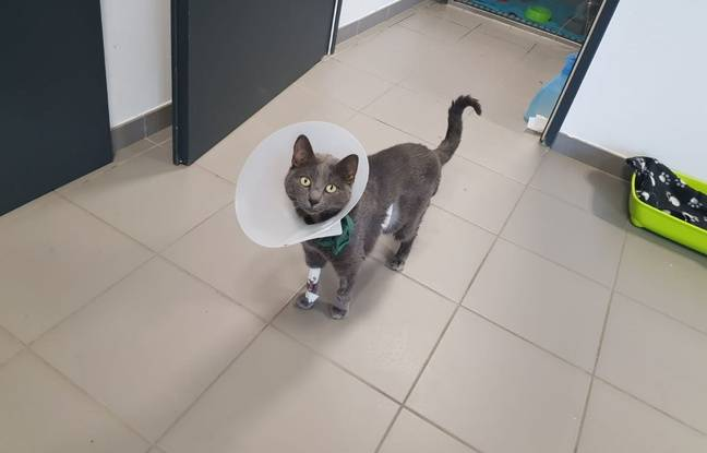 Lyon: Des chirurgiens réalisent une transplantation rénale sur un chat et le sauvent, une première