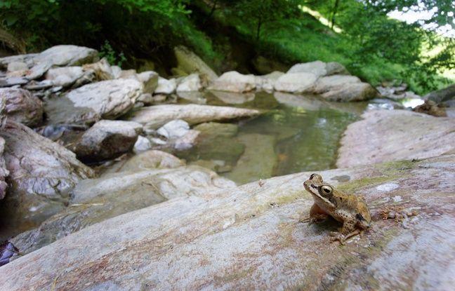 La rainette des Pyrénées est une espèce endémique des Pyrénées, qui a besoin de torrents frais et oxygénés pour survivre.