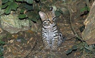 Un bébé ocelot est né au zoo d'Asson dans les Pyrénées-Atlantiques.