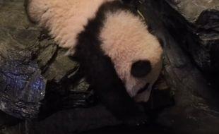 Tian Bao, le bébé panda du zoo de Pairi Daiza (Belgique), fait l'une de ses premières chutes, en octobre 2016.