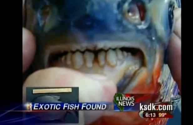 des poissons exotiques s attaquent aux testicules des baigneurs su dois. Black Bedroom Furniture Sets. Home Design Ideas