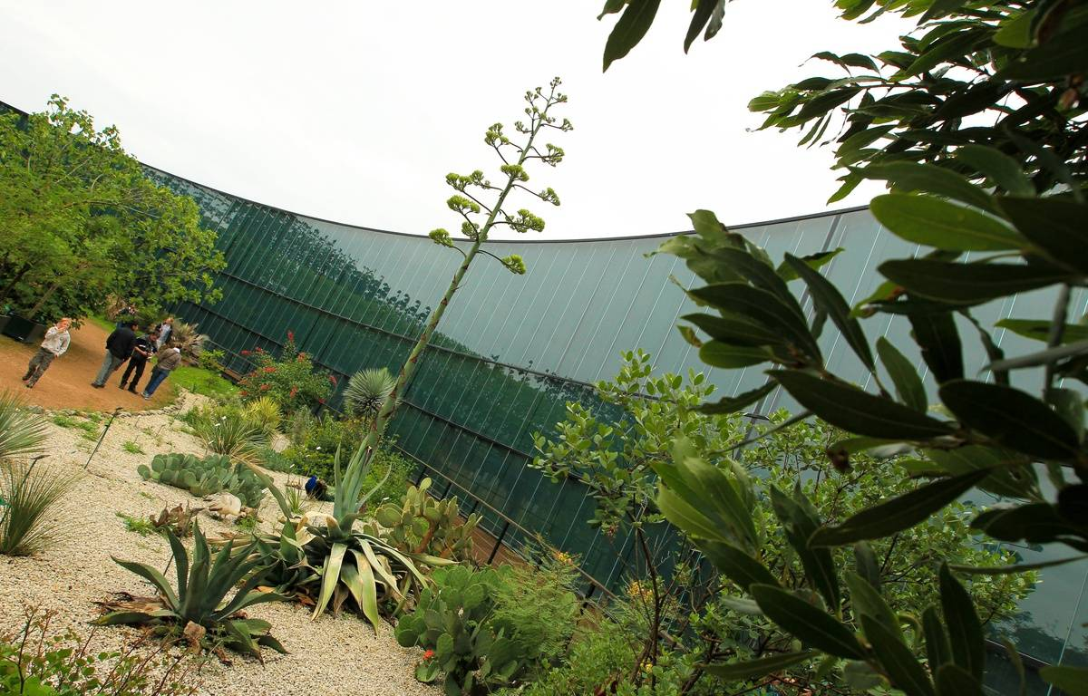 Illustration. Au Muséum, dans le jardin botanique Agave weberi est sur le point de fleurir. 1er/06/2012 Toulouse – FRED  SCHEIBER / 20 MINUTES
