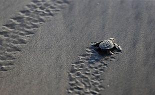 Un bébé tortue en route vers l'Océan.
