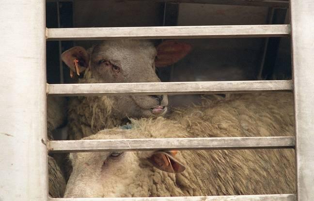 Des moutons dans un abattoir (illustration).