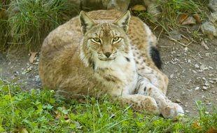 Illustration. Un lynx réintroduit dans le Jura