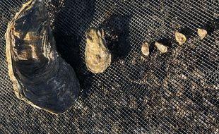 L'huître a été retrouvée à Talmont Saint Hilaire