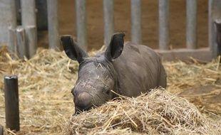 Le petit rhinocéros blanc du Sud, né à Pairi Daiza, le 25 novembre 2019.