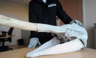saisie d'un crâne de narval par les douanes françaises