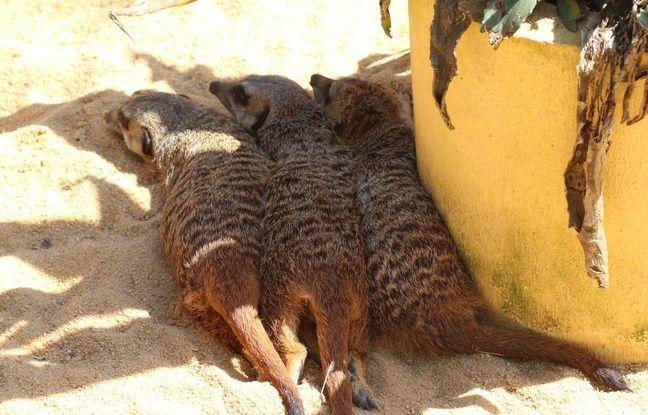 Suricates, au zoo de Bordeaux-Pessac