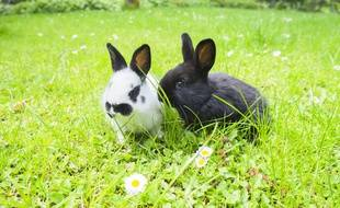 De nombreux lapins domestiques seraient relâchés à proximité du parc Bordelais.