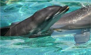 Un delphineau vient de voir le jour à Marineland (Antibes). Le parc compte désormais douz dauphins.