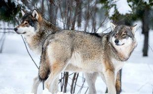 Deux loups (illustration).