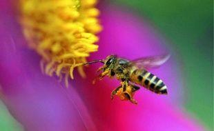 Le territoire du Grand Lyon compte 200 espèces de pollinisateurs, dont les abeilles.