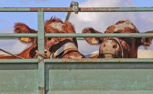 Sept des 33 bovins transportés par le poids lourd sont morts dans l'incendie. Illustration.