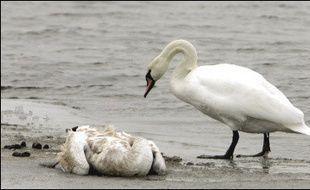 Plusieurs pays riverains de la mer Baltique, dont la Pologne, ont renforcé mercredi leurs mesures de protection, après la découverte sur l'île allemande de Rügen de cygnes sauvages morts du virus H5N1 de la grippe aviaire.