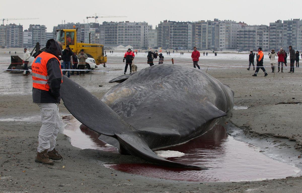 Un cachalot échoué à Ostende en 2012 – KURT DESPLENTER / BELGA / AFP