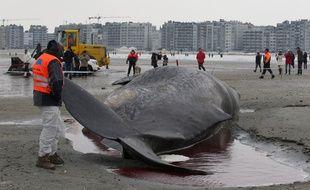 Un cachalot échoué à Ostende en 2012